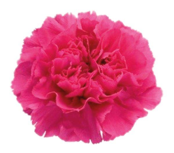 Carnation - Mandalay