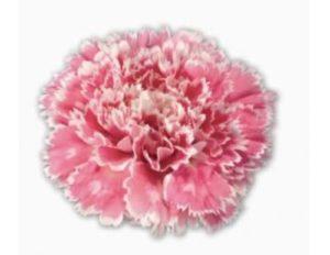Carnation - Nobbio Pink