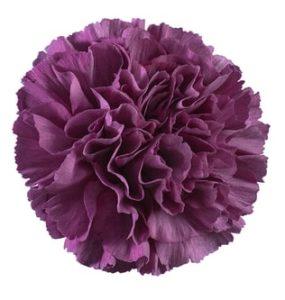 Carnation - Thrill Cobalt