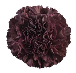 Carnation - Thrill Night