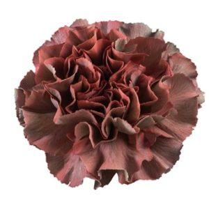 Carnation - Thrill Tornasol