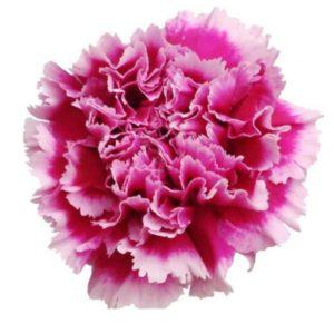 Carnation - Tenderly