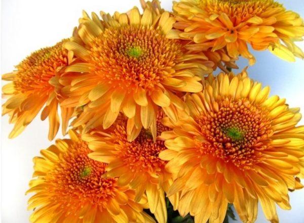 Cremon - Elenora Orange