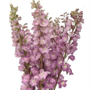 Delphinium - Blush Rose