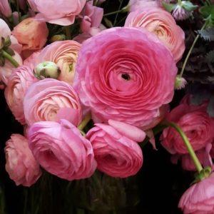 Ranunculus - Dark Pink