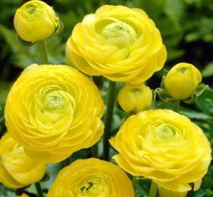 Ranunculus - Yellow