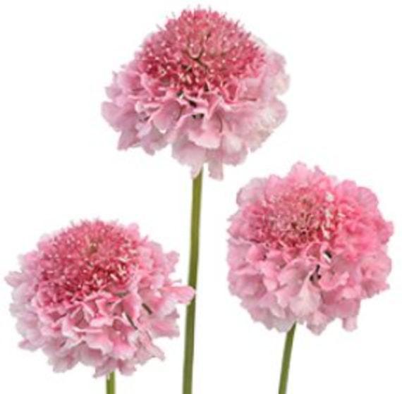 Scabiosa - Pink